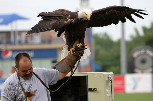 Destiny the bald eagle at the Whitecaps game during the national anthem. (Photo by Emily Jones)