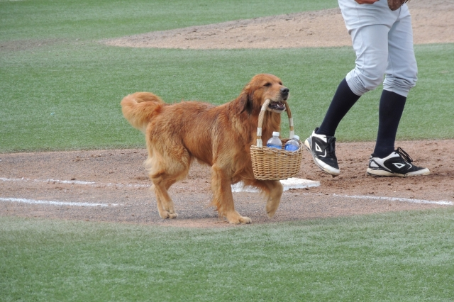 Jake the Diamond Dog carrying a basket of bottle water between innings Sunday.