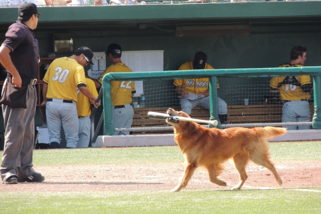 Jake the Diamond Dog retrieves a bat during Sunday's game at The Cove.